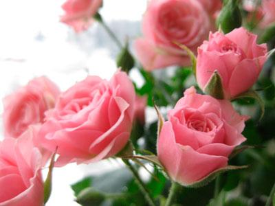 уход за домашней розой