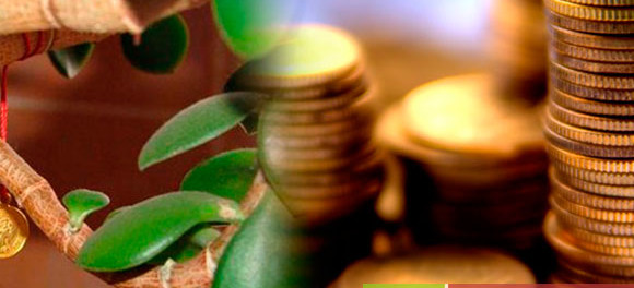 как ухаживать за денежным деревом