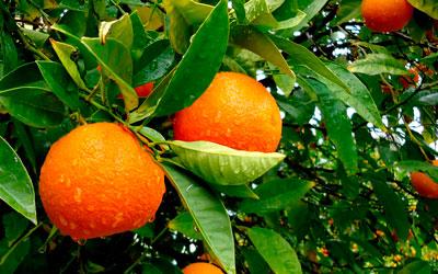 польза апельсиновой диеты
